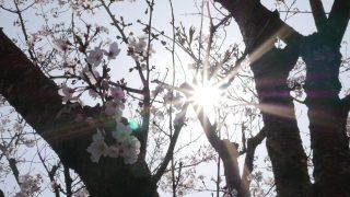 ヒーロー 桜 逆光
