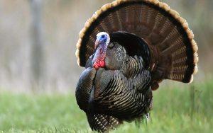 turkey8