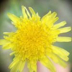 隣の空き地の花。アップだとタンポポっぽく見えますがもっと小さな花ですhttp://ikadamitake.com 営業時間11~17時(夏季)木曜定休(祭日は営業)※むかし鳥、ばくだんは数に限りがございます。1個からお取り置き致します♪Tel.0428-85-8726#炭鳥 #蔵 #筏 #ikada #むかし鳥 #mitake #tokyo #御岳 #御岳山 #御岳山ロックガーデン #武蔵御嶽神社 #多摩川 #御岳渓谷 #ランチ #奥多摩フィッシングセンター #奥多摩 #ブドウ山椒 #おにぎり #味玉 #バイク #ロードバイク #カヌー #カヤック #リバーSUP #ラフティング #デッドエンド #ジムニー #ペット可