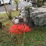 炭鳥ikadaにも #彼岸花 が咲きましたでもこれ、去年までなかったはず。どこから来てくれたのかなhttp://ikadamitake.com営業時間11~17時(夏季)木曜定休(祭日は営業)※むかし鳥、ばくだんは数に限りがございます。1個からお取り置き致します♪Tel.0428-85-8726#炭鳥 #蔵 #筏 #ikada #むかし鳥 #mitake #tokyo #御岳 #御岳山 #御岳山ロックガーデン #武蔵御嶽神社 #多摩川 #御岳渓谷 #御岳ランチ #奥多摩フィッシングセンター #奥多摩 #日原鍾乳洞 #味玉 #バイク #ロードバイク #カヌー #カヤック #リバーSUP #ラフティング #デッドエンド #ペット可 #ヒガンバナ #曼珠沙華