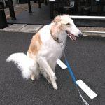 日野市からおいぬ様の神社・武蔵御嶽神社⛩️にお参りなさったお客様が #ボルゾイ のレンくんと一緒にお越し下さいましたレンくんは3歳の男の子ですボルゾイはロシアの猟犬で、時速50kmで走るそうです生後2ヶ月で、大人の柴犬くらいの大きさだったとの事。炭鳥ikadaに来てくれたワンちゃんで今のところ一番の大きさですが、優しいまなざしをしていて可愛かったです🤗 ご来店ありがとうございましたhttp://ikadamitake.com営業時間11~17時(夏季)木曜定休(祭日は営業)※むかし鳥、ばくだんは数に限りがございます。1個からお取り置き致します♪Tel.0428-85-8726#炭鳥 #蔵 #筏 #ikada #むかし鳥 #炭鳥ikada #mitake #tokyo #御岳 #御岳山 #御岳山ロックガーデン #武蔵御嶽神社 #多摩川 #御岳渓谷 #御岳ランチ #奥多摩フィッシングセンター #奥多摩 #日原鍾乳洞 #味玉 #バイク #ロードバイク #カヌー #カヤック #リバーSUP #デッドエンド #ペット可