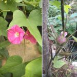 去年のこぼれ種から咲いた #朝顔 未だにいくつも咲いていますが、そろそろ終わり。また来年会いましょう http://ikadamitake.com営業時間11~17時(夏季)木曜定休(祭日は営業)※むかし鳥、ばくだんは数に限りがございます。1個からお取り置き致します♪Tel.0428-85-8726#炭鳥蔵ikada #むかし鳥 #炭鳥ikada #ばくだん #mitake #tokyo #御岳 #御岳山 #御岳山ロックガーデン #武蔵御嶽神社 #多摩川 #御岳渓谷 #東京アドベンチャーライン #御岳ランチ #奥多摩フィッシングセンター #奥多摩 #日原鍾乳洞 #味玉 #バイク #ロードバイク #カヌー #カヤック #リバーSUP #デッドエンド #ペット可 #アサガオ