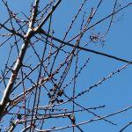 今日は暖かいですね〜炭鳥ikadaの辺りでも、予想最高気温は何と17℃ですpicは #梅の花 のつぼみこの暖かさで膨らみそうです。http://ikadamitake.com営業時間・1月〜 3月 11〜16時4月〜12月 11〜17時金曜定休(祭日は営業)※むかし鳥、ばくだんは数に限りがございます。1個からお取り置き致します♪Tel.0428-85-8726#むかし鳥 #体験型 #炭鳥ikada #ばくだん #mitake #tokyo #御岳 #御嶽駅 #御岳山 #御岳山ロックガーデン #武蔵御嶽神社 #御岳神社 #多摩川 #御岳渓谷 #東京アドベンチャーライン #御岳ランチ #奥多摩フィッシングセンター #奥多摩 #日原鍾乳洞 #okutama #バイク #ロードバイク #カヌー #カヤック #riversup #デッドエンド #ペット可