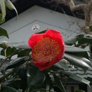 今日の椿開き始めると気温が低下したりで、やっと咲いたのに既に黒い部分が……。でも、待っていました🤗2番目に咲きそうなのもあと少し!http://ikadamitake.com 営業時間 1月から3月  11~16時4月から12月 11~17時金曜定休(祭日は営業)※むかし鳥、ばくだんは数に限りがございます。1個からお取り置き致します♪Tel.0428-85-8726#むかし鳥 #体験型 #炭鳥ikada #ばくだん #mitake #御岳 #御岳山 #御岳山ロックガーデン #武蔵御嶽神社 #御岳神社 #多摩川 #御岳渓谷 #東京アドベンチャーライン #御岳ランチ #奥多摩フィッシングセンター #奥多摩 #日原鍾乳洞 #青梅線五日市線の旅 #イマタマ #imatamagourmet #okutama #バイク #ロードバイク #カヌー #カヤック #リバーSUP #デッドエンド #ペット可 #椿