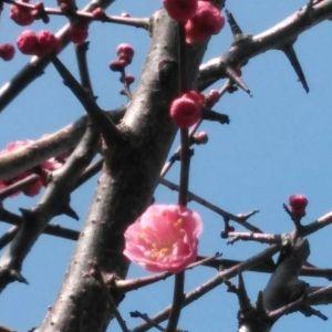 今日の紅梅と椿今日の暖かい快晴で沢山咲きそうです🤗http://ikadamitake.com営業時間・1月〜 3月 11〜16時4月〜12月 11〜17時金曜定休(祭日は営業)※むかし鳥、ばくだんは数に限りがございます。1個からお取り置き致します♪Tel.0428-85-8726#むかし鳥 #体験型 #炭鳥ikada #ばくだん #mitake #御岳 #御嶽駅 #御岳山 #御岳山ロックガーデン #武蔵御嶽神社 #御岳神社 #御岳渓谷 #東京アドベンチャーライン #御岳ランチ #奥多摩フィッシングセンター #奥多摩 #日原鍾乳洞 #青梅線五日市線の旅 #イマタマ #imatamagourmet #okutama #バイク #ロードバイク #カヌー #カヤック #riversup #デッドエンド #ペット可 #椿 #紅梅