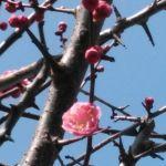 今日の紅梅と椿