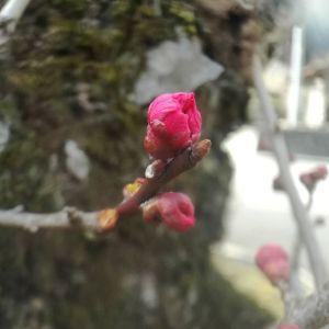 蔵の前の紅梅まもなく開花しそうです🤗http://ikadamitake.com 営業時間 1月から3月  11~16時4月から12月 11~17時金曜定休(祭日は営業)※むかし鳥、ばくだんは数に限りがございます。1個からお取り置き致します♪Tel.0428-85-8726#むかし鳥 #体験型 #炭鳥ikada #ばくだん #mitake #御岳 #御岳山 #御岳山ロックガーデン #武蔵御嶽神社 #御岳神社 #多摩川 #御岳渓谷 #東京アドベンチャーライン #御岳ランチ #奥多摩フィッシングセンター #奥多摩 #日原鍾乳洞 #青梅線五日市線の旅 #イマタマ #imatamagourmet #okutama #バイク #ロードバイク #カヌー #カヤック #リバーSUP #デッドエンド #ペット可 #紅梅