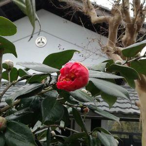 今日の椿気温が安定せず、なかなかパッと開きませんが……あなたの開花を楽しみにしていますhttp://ikadamitake.com 営業時間 1月から3月  11~16時4月から12月 11~17時金曜定休(祭日は営業)※むかし鳥、ばくだんは数に限りがございます。1個からお取り置き致します♪Tel.0428-85-8726#むかし鳥 #体験型 #炭鳥ikada #ばくだん #mitake #御岳 #御岳山 #御岳山ロックガーデン #武蔵御嶽神社 #御岳神社 #多摩川 #御岳渓谷 #東京アドベンチャーライン #御岳ランチ #奥多摩フィッシングセンター #奥多摩 #日原鍾乳洞 #青梅線・五日市線の旅 #イマタマ #imatamagourmet #okutama #バイク #ロードバイク #カヌー #カヤック #リバーSUP #デッドエンド #ペット可 #椿