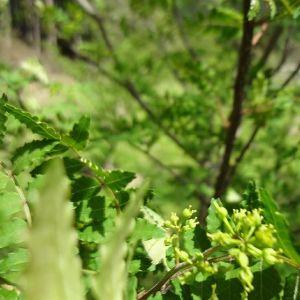 むかし鳥に添えたり、ばくだんおにぎりの佃煮昆布に入れている#ブドウ山椒  の木実がついて少しづつ成長しています♪ http://ikadamitake.com営業時間・4月〜12月 11〜17時1月〜3月 11〜16時金曜定休(祭日は営業)※むかし鳥、ばくだんは数に限りがございます。1個からお取り置き致します♪Tel.0428-85-8726#むかし鳥 #体験型 #炭鳥ikada #ばくだん #mitake #御岳 #御嶽駅 #御岳山 #御岳山ロックガーデン #武蔵御嶽神社 #御岳神社 #御岳渓谷 #東京アドベンチャーライン #御岳ランチ #奥多摩フィッシングセンター #奥多摩 #日原鍾乳洞 #イマタマ #バイク #ロードバイク #サイクリング #カヌー #カヤック #ラフティング #riversup #デッドエンド #ペット可