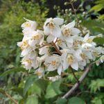 お隣りに咲いている白い花
