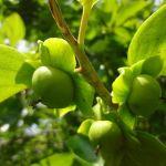 畑の柿の木