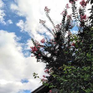 今年は例年より #サルスベリ の開花が遅かったですが、長く楽しめている様な気がしますまだかまだかと思っていた分、より綺麗に感じています🤗http:/ikadamitake.com営業時間・4月〜12月 11〜17時1月〜3月 11〜16時金曜定休(祭日は営業)Tel.0428-85-8726#むかし鳥 #体験型 #炭鳥ikada #ばくだん #mitake #御岳 #御嶽駅 #御岳山 #御岳山ロックガーデン #武蔵御嶽神社 #御岳神社 #御岳渓谷 #御岳ランチ #奥多摩フィッシングセンター #奥多摩 #日原鍾乳洞 #奥多摩湖 #バイク #ロードバイク #サイクリング #カヌー #カヤック #ラフティング #riversup #御岳ボルダー #ペット可 #百日紅