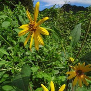 #惣岳山 と #キクイモの花数年前に育てていたままで放置していたら毎年コイモが増えて、この時期は綺麗な花を咲かせてくれますhttp:/ikadamitake.com営業時間・4月〜12月 11〜17時1月〜3月 11〜16時金曜定休(祭日は営業)Tel.0428-85-8726#むかし鳥 #体験型 #炭鳥ikada #ばくだん #mitake #御岳 #御嶽駅 #御岳山 #御岳山ロックガーデン #武蔵御嶽神社 #御岳神社 #御岳渓谷 #御岳ランチ #奥多摩フィッシングセンター #奥多摩 #日原鍾乳洞 #奥多摩湖 #バイク #ロードバイク #サイクリング #カヌー #カヤック #ラフティング #riversup #御岳ボルダー #ペット可 #菊芋