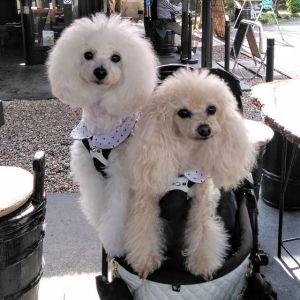 """西多摩地区からお越しの2名様です有難い事に、福生市にある小型犬のためのお庭 @dog.small.garden.koniwan さんで知り合ったワンコ仲間の皆様のpostをご覧になって、嬉しい事に当店目指して御岳にお越し下さいました🤗🥚一緒に来てくれた可愛いワンちゃん達は、全員 #トイプードル です1枚目 向かって左から""""ぱぁるちゃん""""( #ホワイト )5歳♀""""しぇるちゃん""""( #クリーム )5歳♀2枚目 """"チップくん""""( #アプリコット )10歳♂みんなおとなしくってフレンドリーな子たちでしたが、ご注文頂いた""""ワンちゃんも食べられる味なしむかし鳥""""が来たら、とっても嬉しそうでしたご来店ありがとうございましたhttp://ikadamitake.com営業時間・4月〜12月 11〜17時1月〜3月 11〜16時金曜定休(祭日は営業)Tel.0428-85-8726#むかし鳥 #体験型 #炭鳥ikada #ばくだん #mitake #御岳 #御嶽駅 #御岳山 #御岳山ロックガーデン #武蔵御嶽神社 #御岳神社 #御岳渓谷 #御岳ランチ #奥多摩  #奥多摩湖 #バイク #ロードバイク #サイクリング #カヌー #カヤック #ラフティング #riversup #御岳ボルダー #ペット可"""