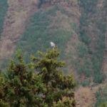杉の木の上に留まる #鷺いつもは二羽が近くにいます。今日はどうしたのかな?http://ikadamitake.com 営業時間4月から12月 11~17時1月から3月 11~16時金曜定休(祭日は営業)Tel.0428-85-8726#むかし鳥 #体験型 #炭鳥ikada #ばくだん #mitake #御岳 #御岳山 #御岳山ロックガーデン #武蔵御嶽神社 #御岳神社 #御岳渓谷 #東京アドベンチャーライン #御岳ランチ #奥多摩フィッシングセンター #奥多摩 #日原鍾乳洞 #イマタマ #バイク #ロードバイク #カヌー #カヤック #リバーSUP #ラフティング #御岳ボルダー #ペット可 #サギ