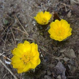 ご近所さんのお庭の #フクジュソウ見とれていたら、快く撮らせて下さいました明るい黄色の花は、もうすぐ春が訪れる事を告げてくれていますhttp://ikadamitake.com営業時間・1月〜3月 11〜16時4月〜12月 11〜17時金曜定休(祭日は営業)Tel.0428-85-8726#むかし鳥 #体験型 #炭鳥ikada #ばくだん #mitake #御岳 #御嶽駅 #御岳山 #御岳山ロックガーデン #武蔵御嶽神社 #御岳渓谷 #御岳ランチ #青梅ランチ #奥多摩フィッシングセンター #奥多摩 #奥多摩湖 #バイク #ロードバイク #サイクリング #カヌー #カヤック #ラフティング #riversup #御岳ボルダー #ペット可 #スプリングエフェメラル #springephemeral #福寿草
