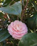 蔵の前の小さな庭で #乙女椿 が咲き始めましたもうしばらくすると鈴なりに咲いて賑やかになるのですが、最初の数輪の時は、凛としていて気品を感じますhttp://ikadamitake.com営業時間・1月〜3月 11〜16時4月〜12月 11〜17時金曜定休(祭日は営業)Tel.0428-85-8726#むかし鳥 #体験型 #炭鳥ikada #ばくだん #mitake #御岳 #御嶽駅 #秩父多摩甲斐国立公園 #御岳山 #御岳山ロックガーデン #武蔵御嶽神社 #御岳渓谷 #御岳ランチ #奥多摩フィッシングセンター #奥多摩 #奥多摩湖 #バイク #ロードバイク #サイクリング #カヌー #カヤック #ラフティング #riversup #クライミング #ペット可 #nocovid19