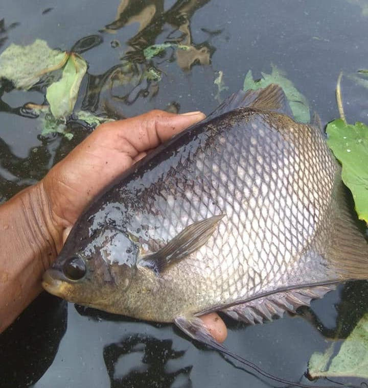 Foto ikan gurame