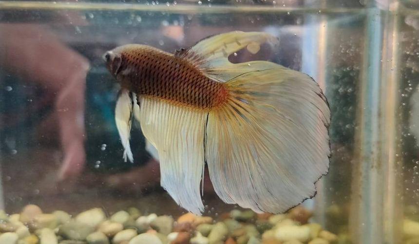 Betta fish Slayer