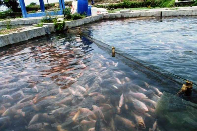 Kolam Budidaya Ikan Nila