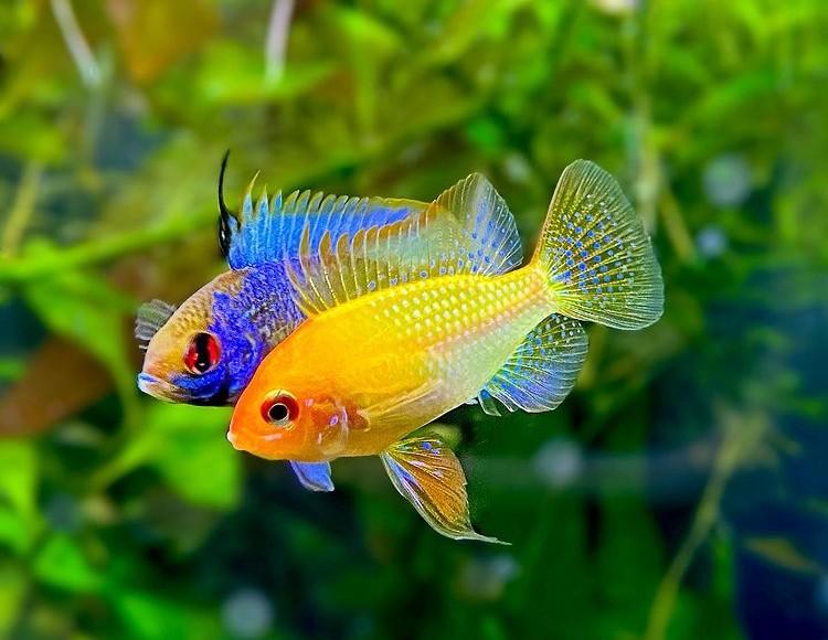 Ikan hias cichlid