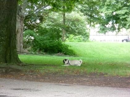 Schattig mopshondje in het park
