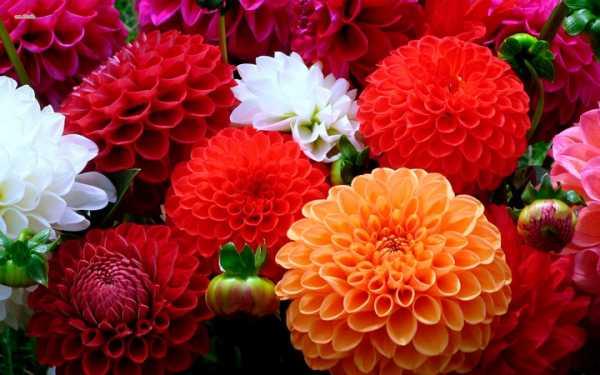 Долго цветущие уличные цветы – Садовые цветы - цветущие ...