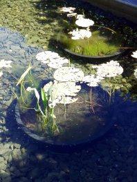 Wasserpflanzen - ich hatte den Eindruck, dass sie zur Entfaltung nicht genügend Wassertiefe hatten
