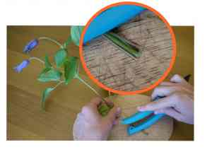 How to keep clematis fresh longer. Picture from the article on IkebanaWeb.com by Ekaterina Seehaus