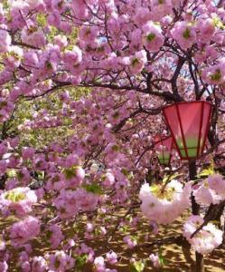 大阪、花見、スポット、1