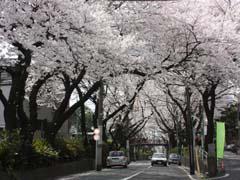 東京、花見、スポット、人気