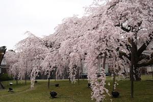 京都 桜 花見 名所 穴場 スポット 3