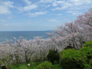 神戸市 桜 名所 穴場  花見 スポット 8