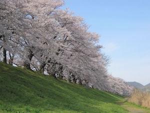京都 桜 花見 名所 穴場 スポット 1