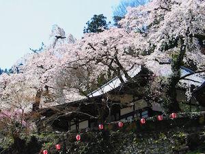 神戸市 桜 名所 穴場  花見 スポット 3