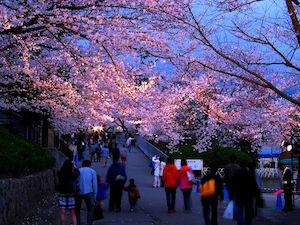 神戸市 桜 名所 穴場  花見 スポット 2