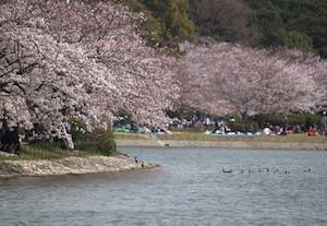 神戸市 桜 名所 穴場  花見 スポット 4