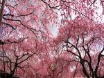 京都の桜の名所や穴場は?2018年の花見ができるスポットをご紹介!