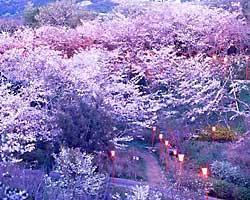 和歌山県 桜 穴場 名所 2016 花見 スポット 3