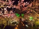 沖縄の桜の名所や穴場でおすすめなのは?海と花見が楽しめるスポットも!