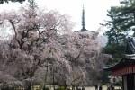 3月は京都府へ旅行!気温や服装、観光におすすめなスポットは?