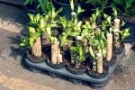 ドラセナの育て方!夏や冬の注意点や傷んだ時、挿し木をする方法!