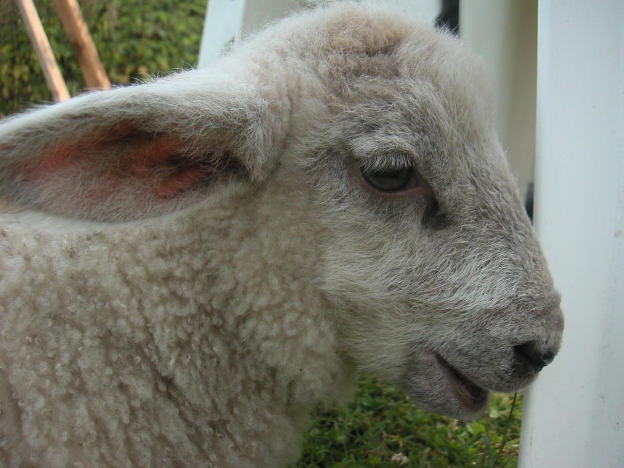 a little baby lamb on a farm sanctuary.