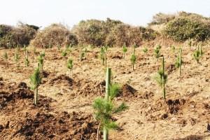 植樹(植樹された250本のクロマツ)