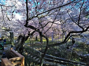 車椅子で行く高遠城址公園さくら祭り バリアフリー情報