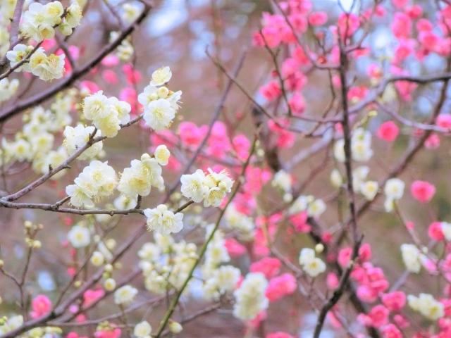 関東の梅の名所 車椅子観梅ガイド バリアフリー情報
