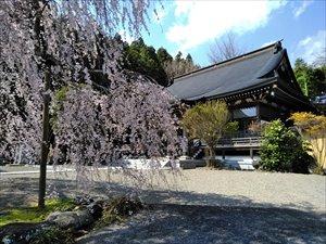 茨城の枝垂れ桜を車椅子で観る 常陸大宮市 満福寺