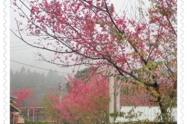 【南庄】森林秘境之櫻花大道*鹿場(撒鳳小吃)