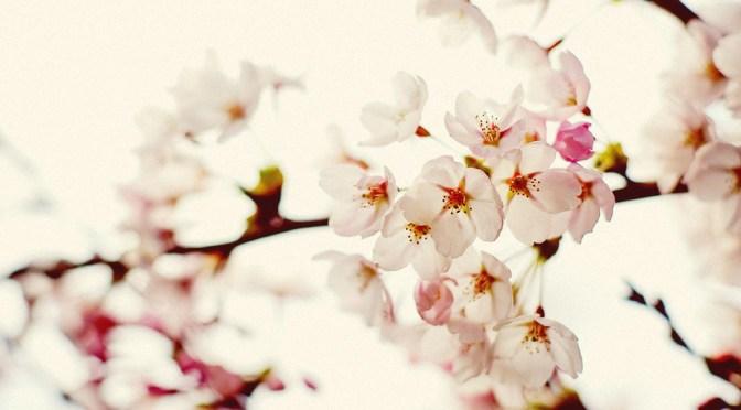 神戸市灘区の隠れた花見名所、護国神社でお花見してきました
