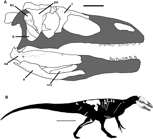 Murusraptor barrosaensis from A New Megaraptoran Dinosaur (Dinosauria, Theropoda, Megaraptoridae) from the Late Cretaceous of Patagonia by Rodolfo A. Coria and Philip J. Currie